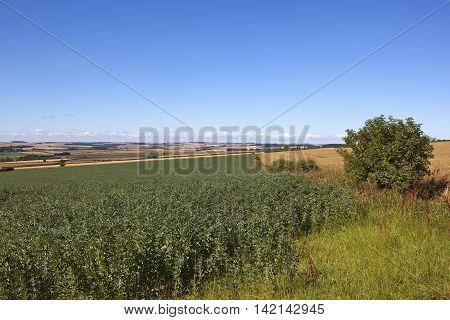 Field Beans In Summer