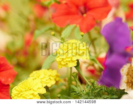 Colorful Composition Of Pink, Yellow, Red Flowers Of Petunia.