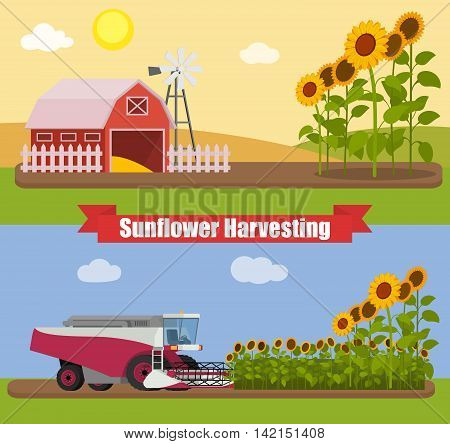 Modern combine harvester tractor working a sunflowers field. Agriculture machinery. Agriculture harvest sunflower seeds. Farm rural landscape, vector illustration.