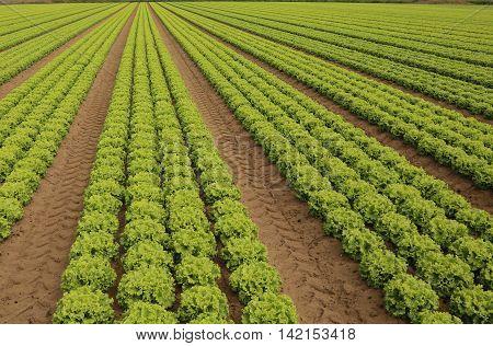 Green Lettuce Grown On Sandy Soil In Summer
