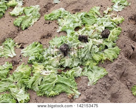 many rot green lattuce leaves abandoned field