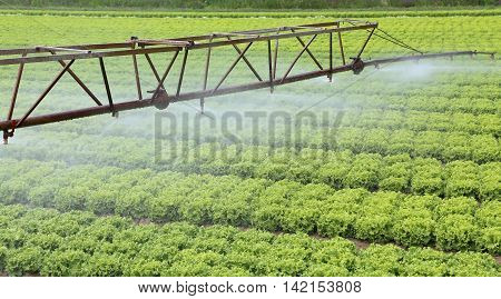 automatic irrigation system of a field of lettuce in summer