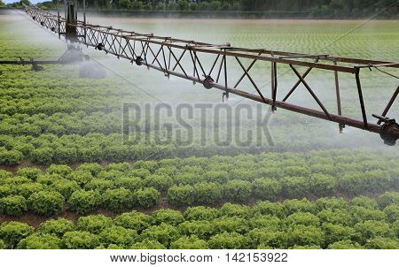 automatic irrigation system of a cultivated field of green lettuce