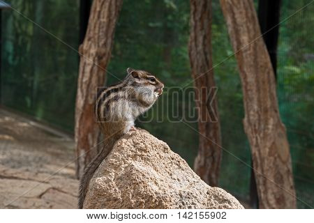 Chipmunk, tamias sits atop of wood pile in sunlight. Small squirrel.