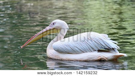 Floating White Pelican