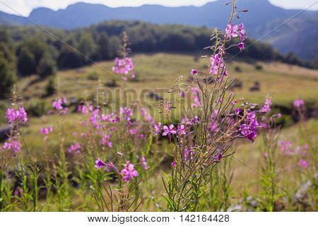 Pink Flowers Blooming With Mountain In Background