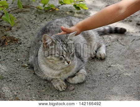 Adult fluffy cat lying on the ground under a Bush. Human hand stroking the cat lying.