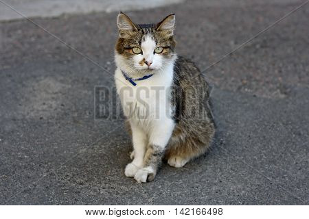 An adult cat with a colored coat sitting on a grey asphalt road. On the neck of the animal wearing a collar for cats.