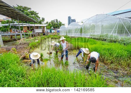 BANGKOK THAILAND - 17 JULY, 2016: Unknown young farmers planting rice saplings on rice paddy field in organic farm