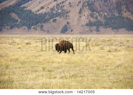 Single Bull Bison