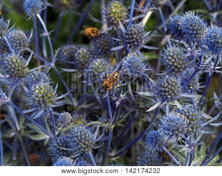 Blue sea holly plant with bees in summer