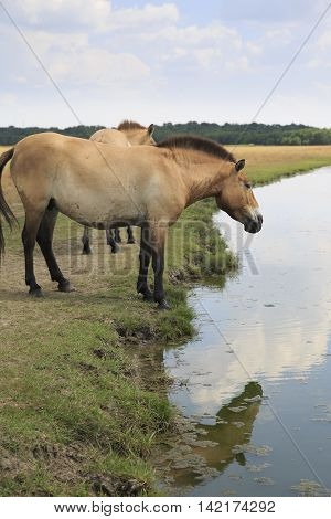 Przewalski's Horse looks in at self refleciton in the water