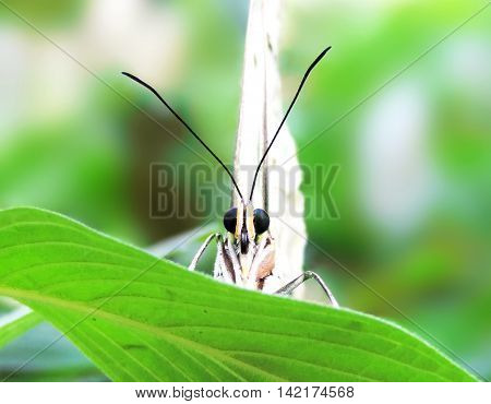 Front view of a white butterfly in the rainforest