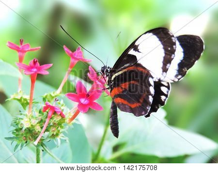 Black and red butterfly on a pink flower.