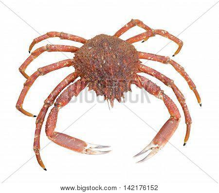 a european spider crab in white back