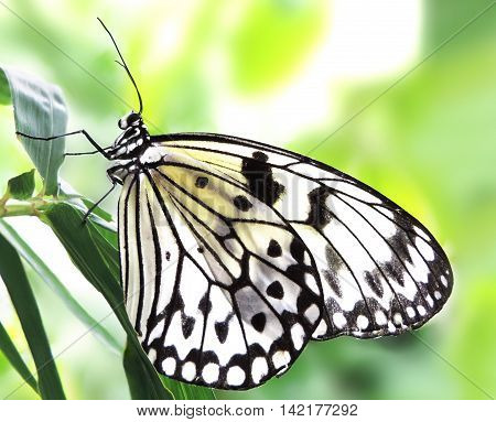 White butterfly on a tropical plant in the rainforest