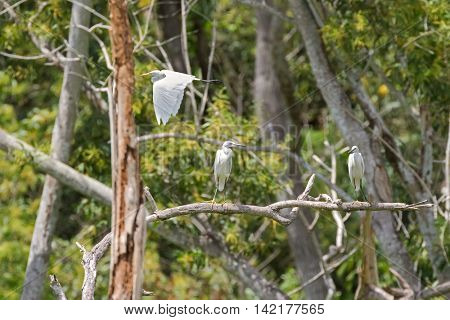Intermediate Egret flying and Little egret aquatic heron birds perching on tree branch in the forest, Thailand, Asia