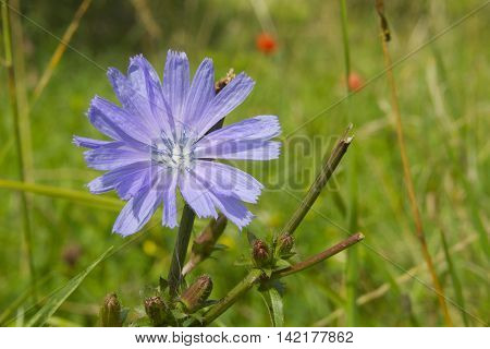 Chicory flowers and poppies in the back ground