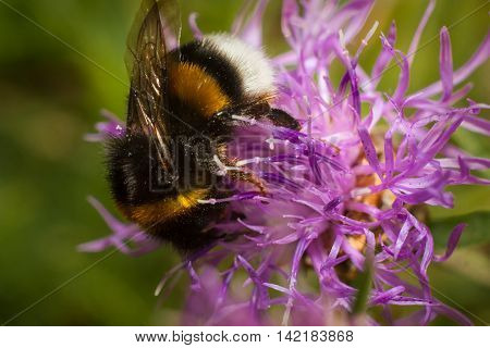 bumble bee Collects pollen from a flower macro.