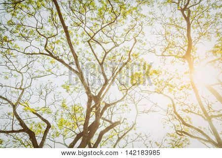 Tree and branch when you look up. It looks natural and breezy Suitable for tree background ,tree backdrop ,tree wallpaper ,tree with text and all everything all about tree artwork for your design.