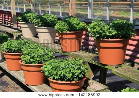 Several terra cotta pots with lush green plants displayed on shelving units at nursery