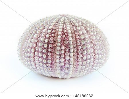 Purple sea urchin, isolated on white background.