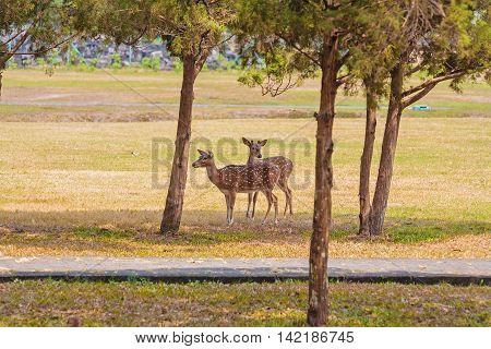 Cute Pair Of Deers In The Park