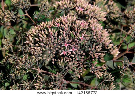 Pretty background with small details of light pink flowers on garden shrubs