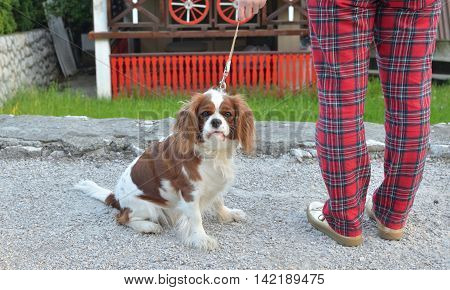 Cavalier King Charles Spaniel Blenheim dog on a leash in the countryside