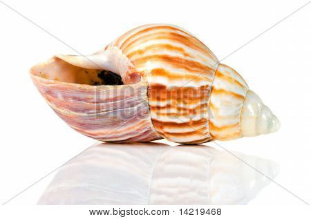 Isolated Sea Shell With Reflection