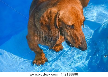 Dachshund In Water