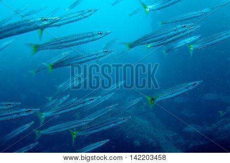 School of Yellow Fin Barracuda from Gulf of Thailand, Chumphon, Thailand.