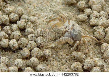 Ghost Crab on the beach. Gulf of Thailand, Thailand.