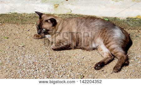 Thai Roan nice cat relax on the sand street.