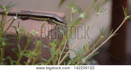Macro of chameleon or lizard in garden. Beautiful and elegant Reptile.
