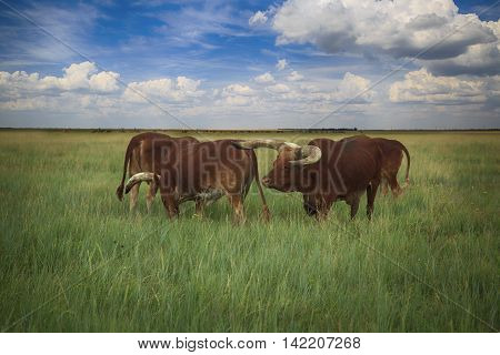 cattle family with very long and curved horns called Watusi walk in the wild steppe of Askania-Nova in Ukraine