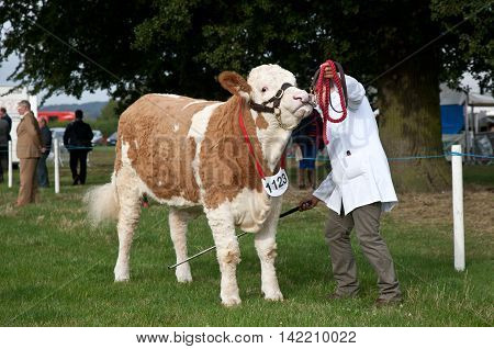 WEEDON, UK - AUGUST 27: One of the many bullocks being shown at some of the class competitions is moved into position by the handler at the Bucks County Show on August 27, 2015 in Weedon