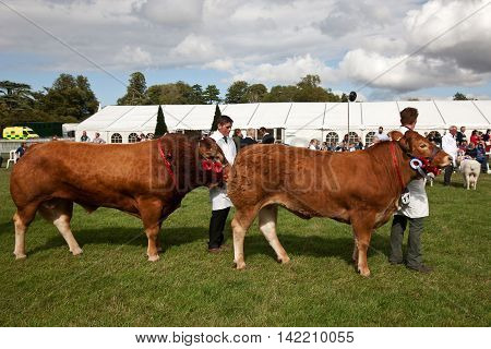 WEEDON, UK - AUGUST 27: One of the many bullocks and cows showing in the Grand Finale are walked around the ring by the handlers at the Bucks County Show on August 27, 2015 in Weedon