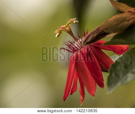 passion flowers or passion vines, is a genus of about 500 species of flowering plants, the type genus of the family Passifloraceae