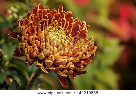 Chrysanthemums, or simply mums, are a species of perennial flowering plants that bloom in response to the shorter days and longer nights experienced in the Northern Hemisphere in autumn