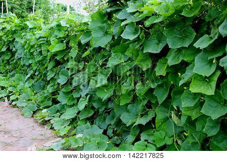 leaf of the luffa or dishcloth gourd, Luffa cylindrica