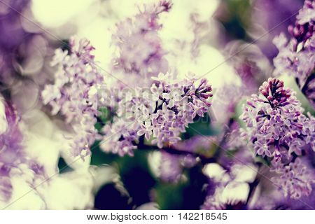 flowering of lilac in the Park of Moscow
