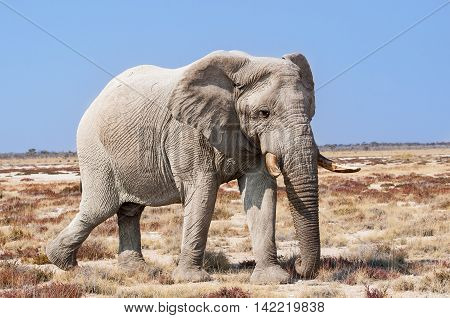 Bull Elephant in the Etosha National Park in Namibia Africa; Concept for travel in Africa and Safari