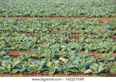 Long Rows Of Unripe Cabbage