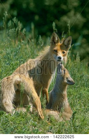 red Fox walks with her brood in the meadow under the warm sun