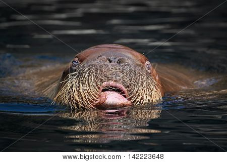 Pacific Walrus seen from the front swimming with its head over the water