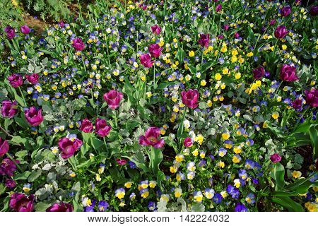 Bright Pansies And Tulips In A Big Colorful Flowerbed