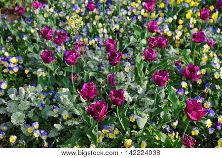 Bright Pansies And Tulips In The Colorful Flowerbed