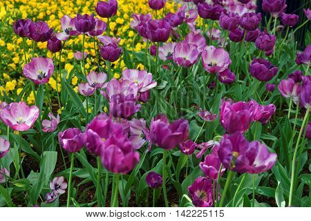 Purple Tulip Flower Bed Among Other Flowers Washington Dc