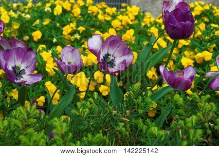 Purple Tulips Among Flowers Washington Dc